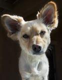 собака foxy Стоковое Изображение