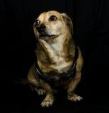 Собака Gangsta стоковые фото