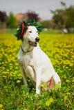Собака Gratuated с лавровым венком стоковые фотографии rf