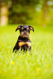 Собака griffon Брюсселя стоковое изображение rf