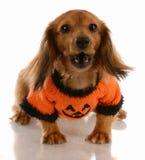 собака halloween стоковые фотографии rf