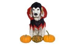 собака halloween Стоковая Фотография RF
