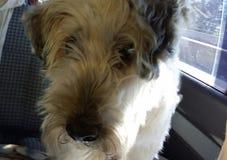 Собака Harley Стоковое фото RF