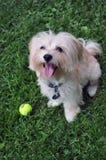 Собака Havanese Стоковые Изображения