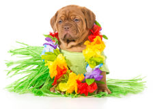 Собака Hula Стоковые Фотографии RF