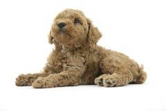 собака i Стоковое Фото