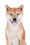 Собака inu Shiba на белой предпосылке Стоковые Изображения