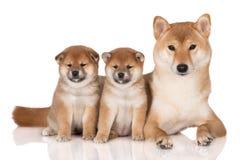 Собака inu Shiba с 2 щенятами Стоковое Изображение RF