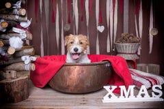 Собака Jack Russel Рождество Стоковая Фотография