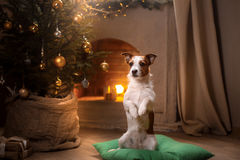 Собака Jack Russel Сезон 2017 рождества, Новый Год стоковая фотография rf