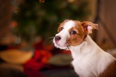 Собака Jack Russel щенок Рождество, Стоковое Изображение