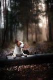 Собака Jack Russel Стоковое Изображение RF