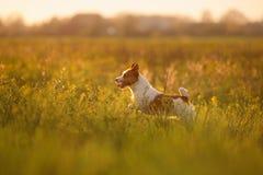 Собака Jack Russel стоковое изображение