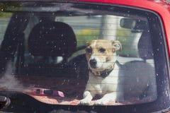 Собака Jack Russel Стоковые Изображения RF