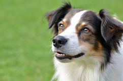 Собака Krom Стоковая Фотография