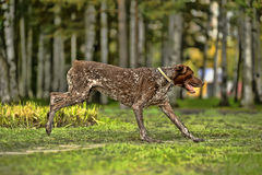 Собака Kurzhaar Стоковые Фотографии RF