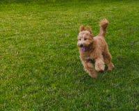 Ход собаки на зеленой траве стоковое изображение rf