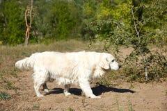 Собака labrador в собаке леса дружелюбной Стоковые Изображения RF