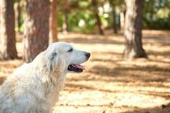 Собака labrador в собаке леса дружелюбной Стоковая Фотография RF
