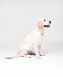 Собака labrador золотого retriever Стоковое Фото