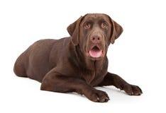 собака labrador шоколада кладя retriever Стоковое Изображение