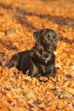 собака labrador Стоковые Фотографии RF