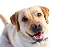 Собака Labrodor Стоковые Изображения RF