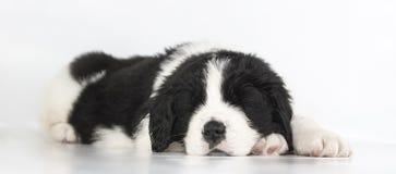 Собака landseer щенка стоковые изображения rf