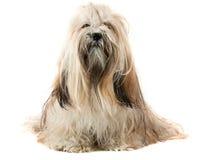 собака lhasa apso милая Стоковое Фото