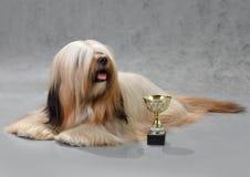 собака lhasa apso Стоковое фото RF