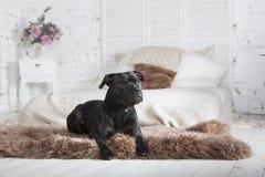 Собака lyings на кресле Стоковое Изображение RF