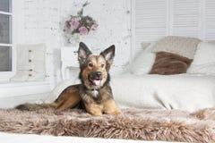 Собака lyings на кресле Стоковые Фотографии RF
