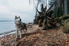 собака malamute стоя на береге озера песочном против воды, стоковые изображения rf
