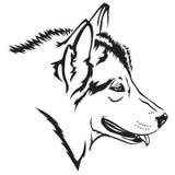 Собака Malamute Стоковое Изображение