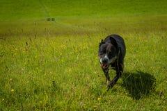 Собака Mickey штат стоковое фото rf