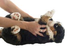 Собака moutain щенка bernese Стоковое Фото