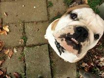 Собака Mugsly Стоковое Фото