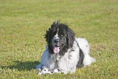собака newfoundland Стоковая Фотография
