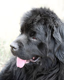 собака newfoundland outdoors Стоковое Фото