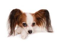Собака Papillon, портрет Стоковая Фотография