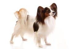 Собака Papillon Стоковые Фотографии RF