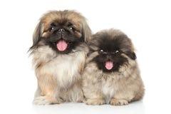 Собака Pekinese с щенком Стоковые Изображения