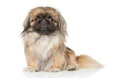 Собака Pekinese Стоковое Изображение RF
