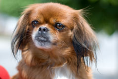 собака pekingese Стоковые Фото