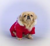 Собака Pekingese Стоковая Фотография