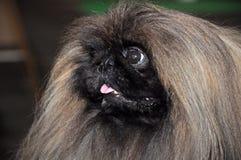 Собака Pekingese Стоковое Изображение