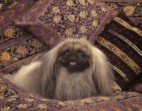 собака pekingese Стоковые Изображения