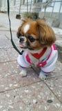 собака pekingese Стоковое Изображение RF