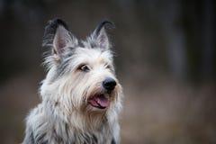 Собака picard Berger в зиме поле стоковые изображения