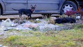 Собака Pinscher Стоковые Изображения RF